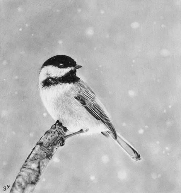 pencil drawing of chickadee
