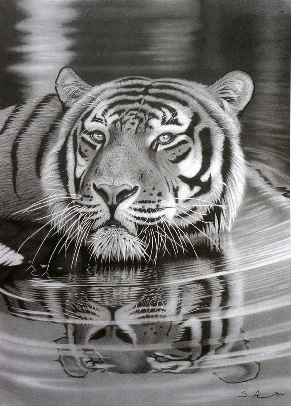 Pencil drawing of tiger