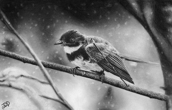 pencil drawing of winter bird