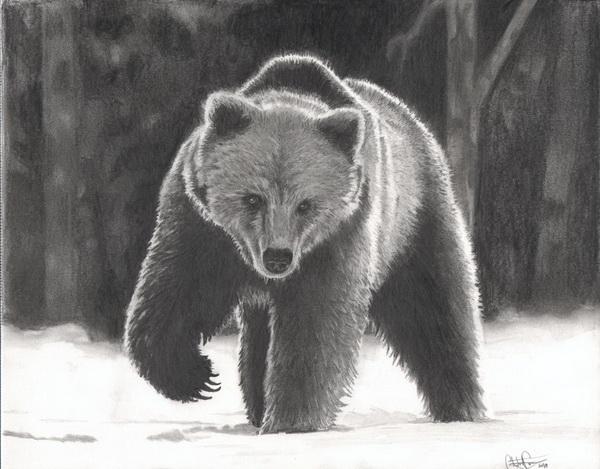 Black bear midget showcase