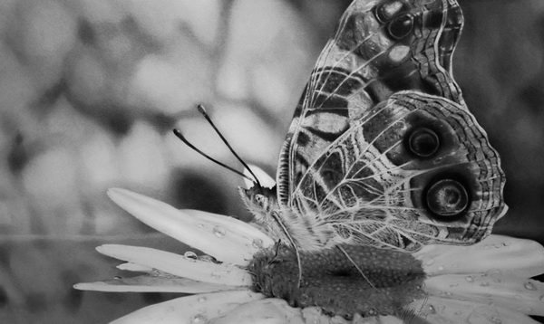 butterfly drawing 13