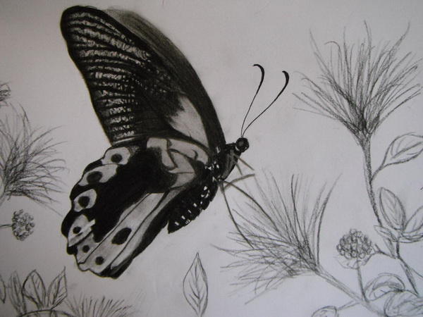 butterfly drawing 5