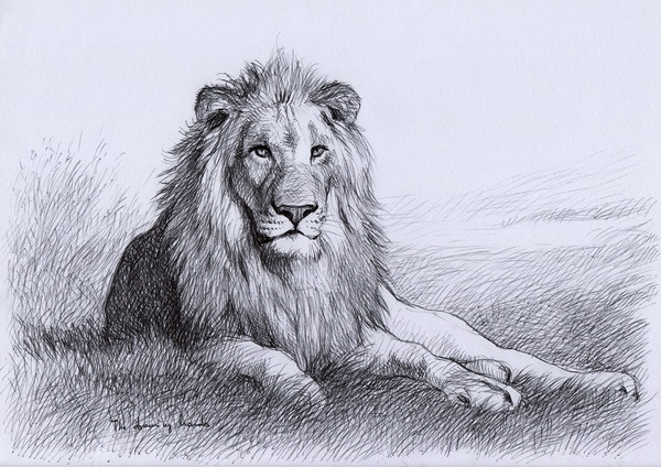 lion drawing ph... Easy Lion Drawings In Pencil