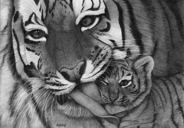 Tiger family drawing - photo#4