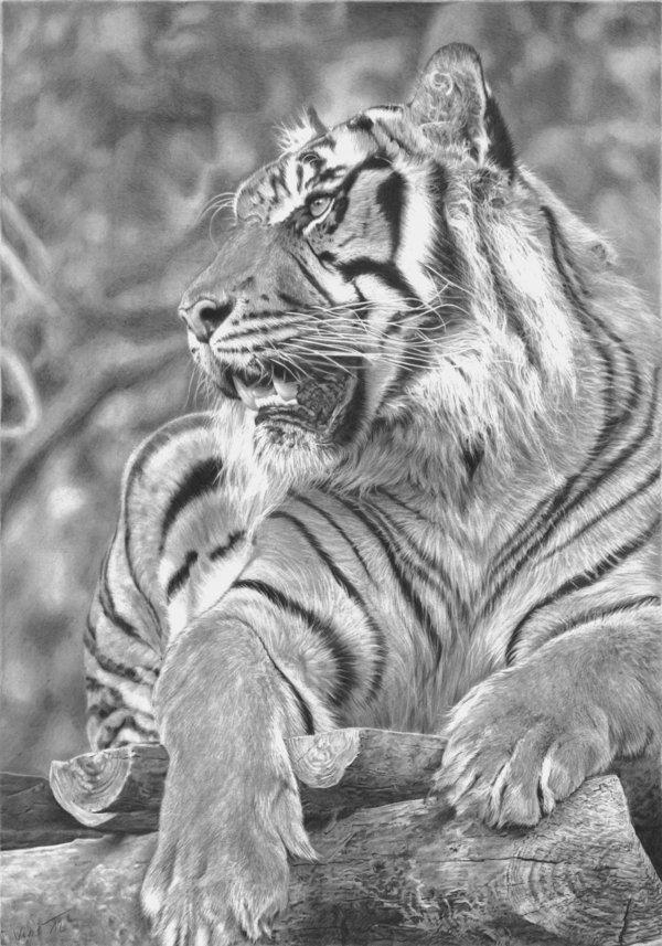 Volwassen Kleurplaten Love 10 Cool Tiger Drawings For Inspiration Hative