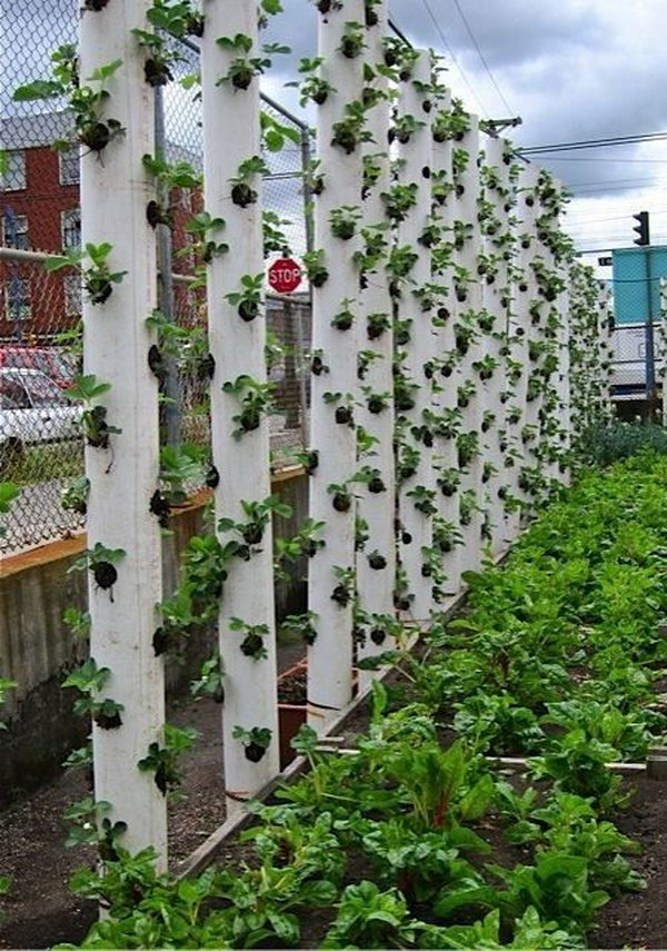 Vertical Strawberry Tube Planter. It Allows Plants To Extend Upward Rather  Than Grow Along The