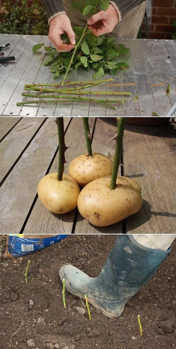 Propagate Rose Cuttings with Potatoes