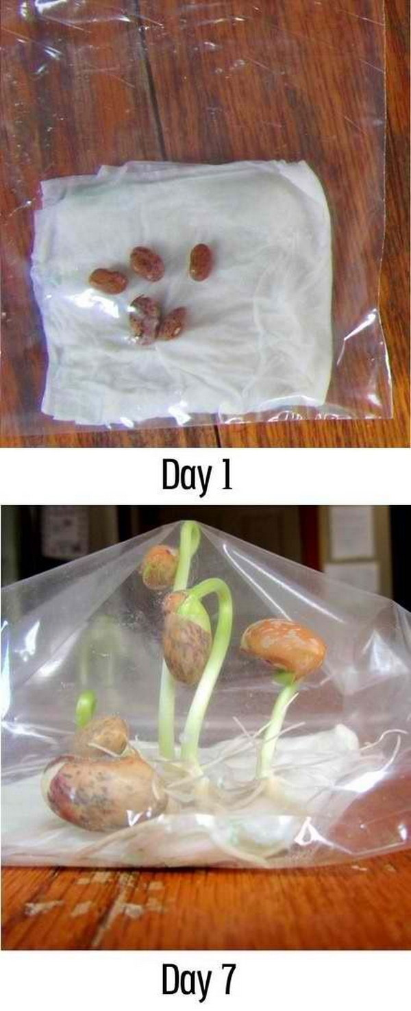 Seeds Sprout Science Experiment.