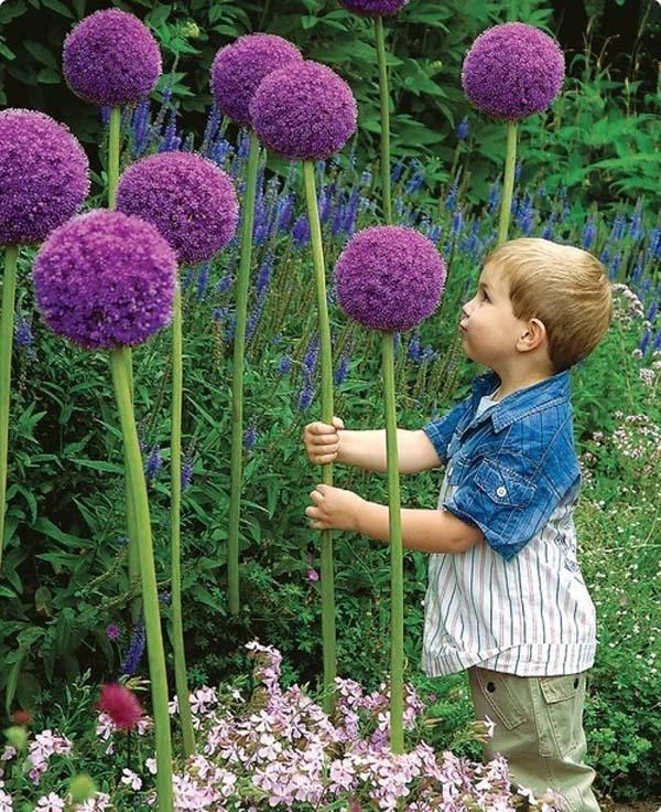 Giant Allium Flowers.